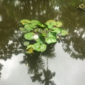 flower in pond in Hawaii
